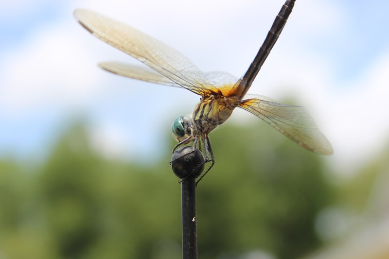 This is what a dragonfly looks like Will Peebles