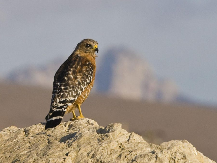 Red-shouldered+Hawk+%28bird%29+%28Buteo+lineatus%29+in+the+Cloisters+City+Park+in+Morro+Bay%2C+CA