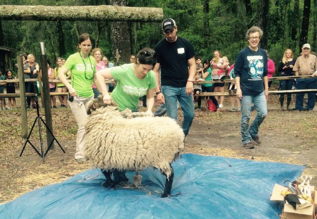 Oatland Island hosts yearly Sheep Shearing