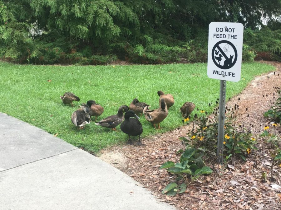 Ducks+and+Geese+have+become+well-known+at+Georgia+Southern.%C2%A0