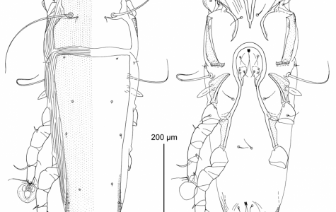 A picture of the mites,of the genusAmerodectes, found on campus.