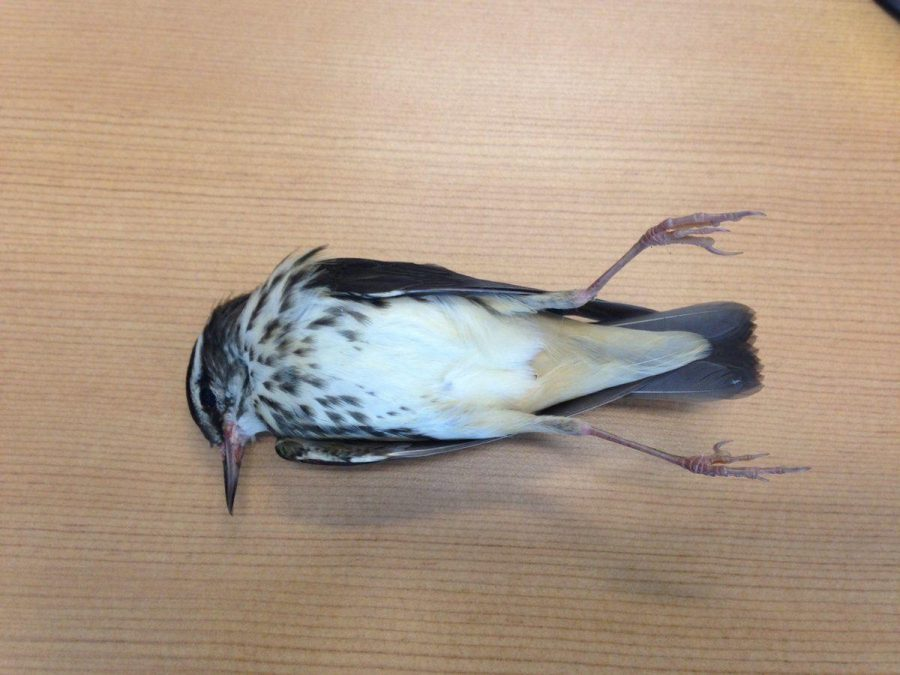 A Louisiana Waterthrush that died after flying into a building on campus. Ray Chandler, an ornithologist and biology professor at GS said he has found dead birds outside every building on campus.
