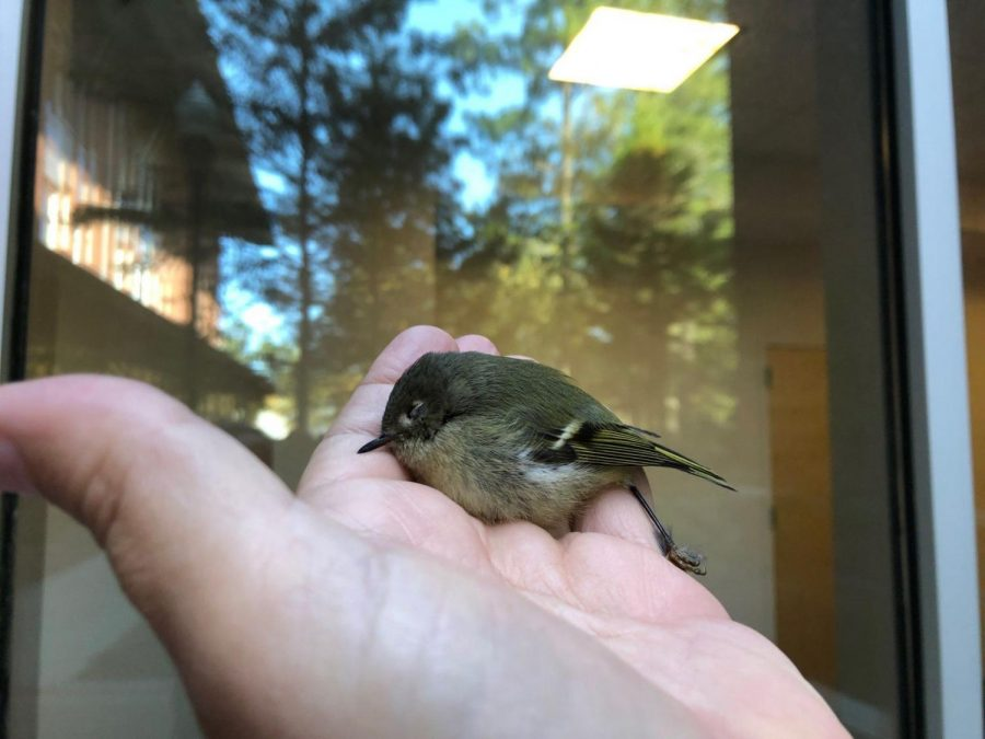 Biology professor Ray Chandler and graduate student Antarius Mclain's research estimates that at least 700 to 800 birds are killed on campus every year by flying into windows on campus.